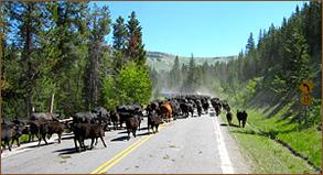 cattle-work5